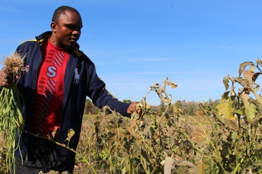 Omasombo's friend Mark Fata, also a refugee from the Congo, has tagged along, and walks gingerly among the rows of African eggplant.
